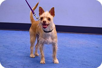 Yorkie, Yorkshire Terrier/Terrier (Unknown Type, Small) Mix Dog for adoption in Scottsdale, Arizona - Bart