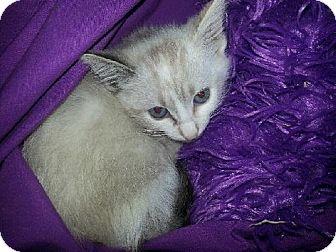 Siamese Kitten for adoption in Phoenix, Arizona - Lily