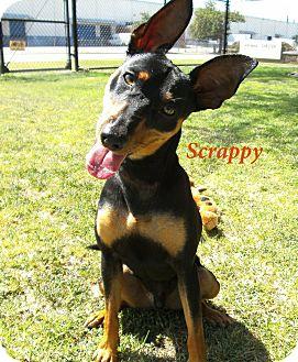 Miniature Pinscher/Manchester Terrier Mix Dog for adoption in El Cajon, California - Scrappy