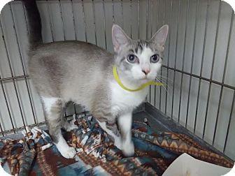 Domestic Shorthair Cat for adoption in Owenboro, Kentucky - ROXY