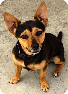 Miniature Pinscher Puppy for adoption in Corona, California - Tobias . . . he's the man!