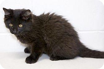 Domestic Longhair Kitten for adoption in Salem, Massachusetts - Slade