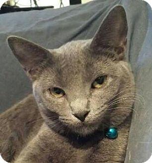 Domestic Shorthair Cat for adoption in Fenton, Missouri - Elizabeth