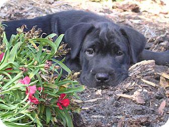 Shar Pei Mix Puppy for adoption in DeLand, Florida - Lola
