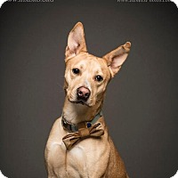 Adopt A Pet :: Pharaoh - Blacklick, OH