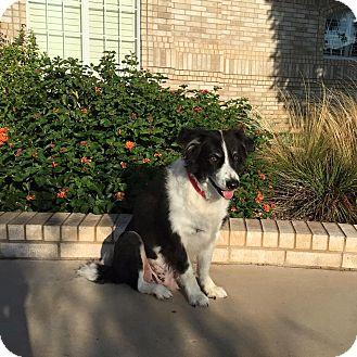 Border Collie Mix Dog for adoption in Allen, Texas - Bronco