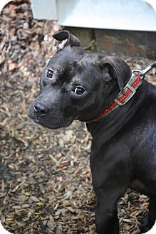 American Pit Bull Terrier Mix Dog for adoption in Reisterstown, Maryland - Cleo