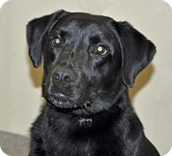 Labrador Retriever Mix Dog for adoption in Port Washington, New York - Apollo