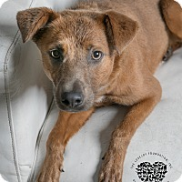 Adopt A Pet :: Blondie - Inglewood, CA