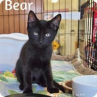 Adopt A Pet :: Bear - Ocean City, NJ