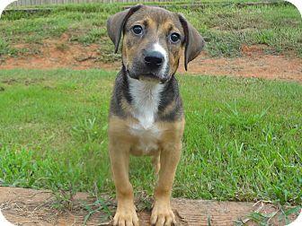 Shepherd (Unknown Type)/Hound (Unknown Type) Mix Puppy for adoption in Kittery, Maine - Abbie