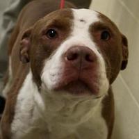 Adopt A Pet :: Buck - White Settlement, TX