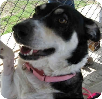 Australian Cattle Dog Dog for adoption in San Clemente, California - MAGGIE