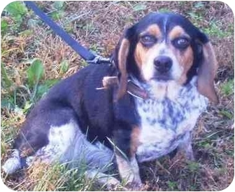 Beagle Dog for adoption in Osseo, Minnesota - Sally and Sam