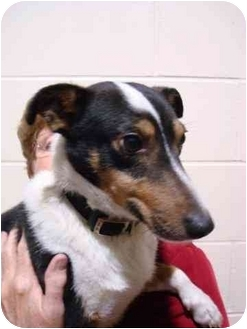 Sheltie, Shetland Sheepdog Mix Dog for adoption in Cincinnati, Ohio - Sheldon