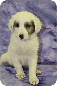 Australian Shepherd/Shepherd (Unknown Type) Mix Puppy for adoption in Broomfield, Colorado - Aspen