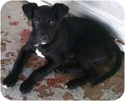 Labrador Retriever Mix Puppy for adoption in Tahlequah, Oklahoma - Serious