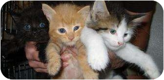 Domestic Shorthair Kitten for adoption in Mt. Vernon, Illinois - awesome kittens
