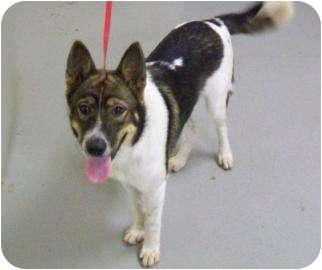 Akita Mix Dog for adoption in Edinburg, Texas - JAY