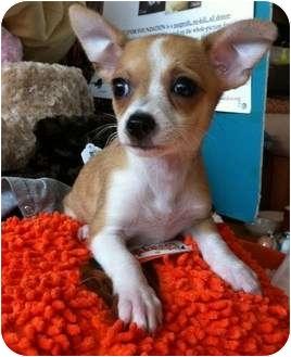 Chihuahua Mix Puppy for adoption in Encino, California - Lulu
