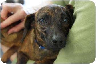 Dachshund Mix Dog for adoption in Toluca Lake, California - Carmela