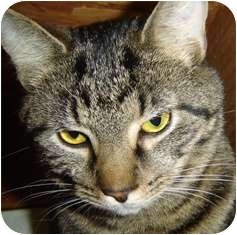 Domestic Shorthair Cat for adoption in Franklin, West Virginia - Tweed-ADOPT PEND