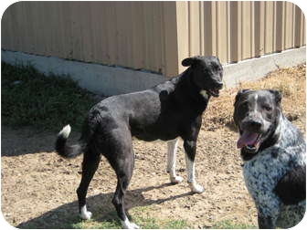 Australian Cattle Dog/Setter (Unknown Type) Mix Dog for adoption in Pilot Point, Texas - LUCY