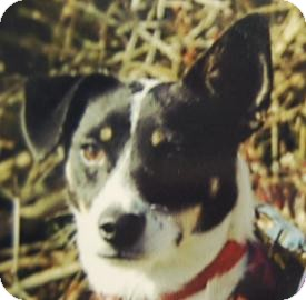 Terrier (Unknown Type, Medium)/Jack Russell Terrier Mix Dog for adoption in Brooklyn, New York - Dora