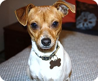 Jack Russell Terrier/Chihuahua Mix Puppy for adoption in Los Angeles, California - Patrick