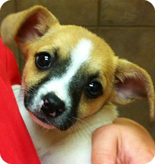 Papillon/Chihuahua Mix Puppy for adoption in Oswego, Illinois - Parker