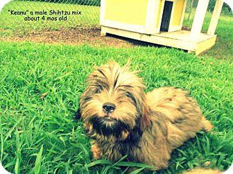 Shih Tzu Mix Puppy for adoption in Gadsden, Alabama - Keanu