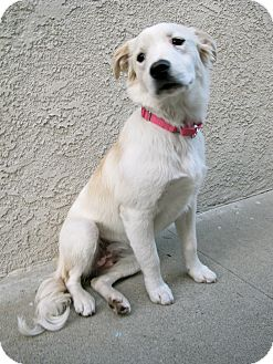 Golden Retriever/Spaniel (Unknown Type) Mix Puppy for adoption in Los Angeles, California - Little Lunabelle