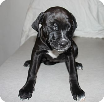 Labrador Retriever Mix Dog for adoption in Philadelphia, Pennsylvania - Hope