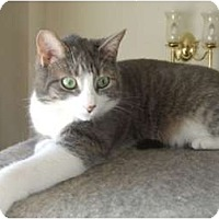 Domestic Shorthair Cat for adoption in Mississauga, Ontario, Ontario - Dreamboat Annie