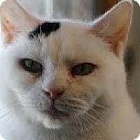 Adopt A Pet :: Vanilla>^.,.^< $35 adoption - Union Lake, MI