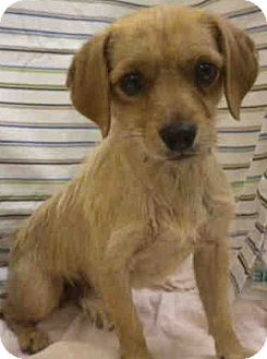 Terrier (Unknown Type, Small)/Dachshund Mix Dog for adoption in Encino, California - Cookie