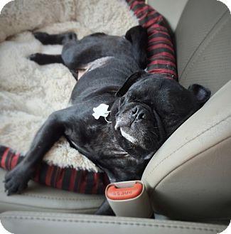 Pug Mix Dog for adoption in Austin, Texas - Marta