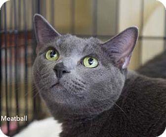 Russian Blue Cat for adoption in Merrifield, Virginia - Meatball