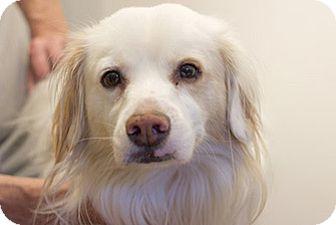 Spaniel (Unknown Type)/Labrador Retriever Mix Dog for adoption in Studio City, California - Kyle