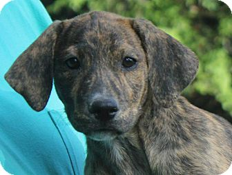 Plott Hound Mix Puppy for adoption in Colonial Heights, Virginia - Apache