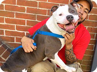 Pit Bull Terrier Mix Dog for adoption in Philadelphia, Pennsylvania - Rocco