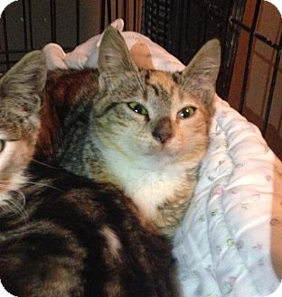 Calico Kitten for adoption in East Brunswick, New Jersey - Bianca