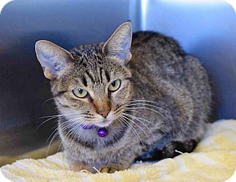 Domestic Shorthair Cat for adoption in Sierra Vista, Arizona - Purhomey