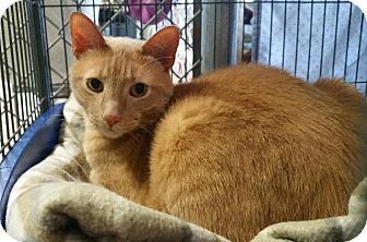Domestic Shorthair Cat for adoption in Freeport, New York - Ferdie