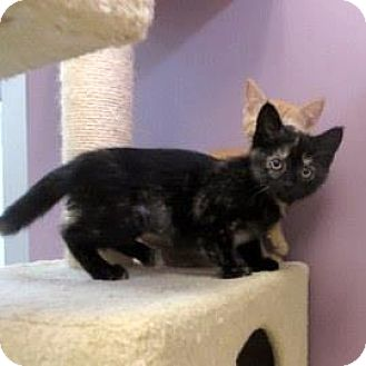 Domestic Shorthair Kitten for adoption in Janesville, Wisconsin - Mimsee