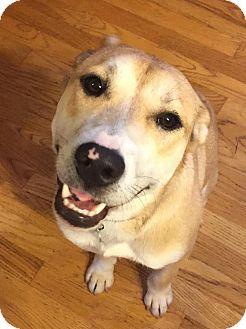 Husky/Labrador Retriever Mix Dog for adoption in Sugar Grove, Illinois - Lobo