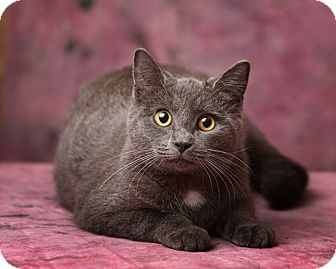 Domestic Shorthair Cat for adoption in Harrisonburg, Virginia - Shadowmoon