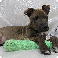 Adopt A Pet :: Kahula - Randolph, NJ