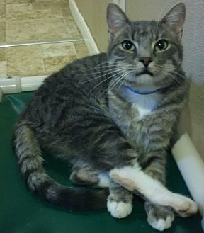 Domestic Shorthair Cat for adoption in Dallas, Texas - Fence