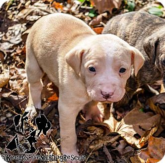 Catahoula Leopard Dog Puppy for adoption in Goodlettsville, Tennessee - Lemon